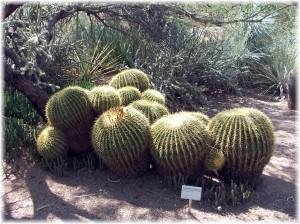 Golden Barrel Cacti